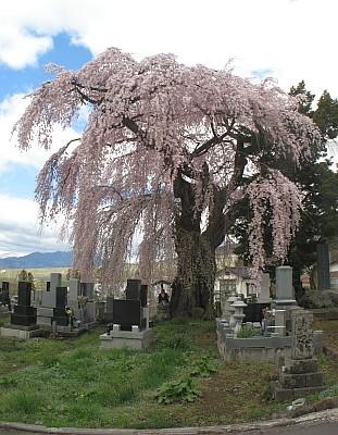 八柱神社のシダレザクラ