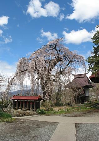 隆谷寺のシダレザクラ