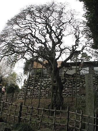 幸神神社のシダレアカシア