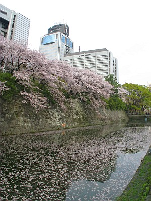 駿府城跡外堀の桜