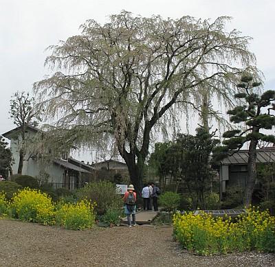 矢板武記念館の枝垂桜