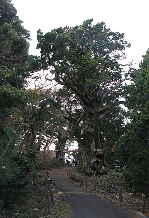 大瀬崎のビャクシン樹林