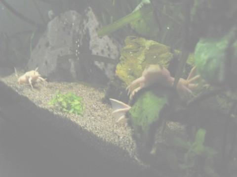 ぐりぐり写真:アフリカツメガエル