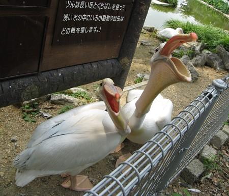 豊橋総合動植物公園:ペリカン