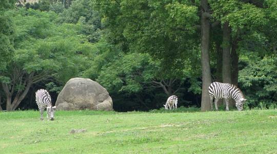 豊橋総合動植物公園:シマウマ